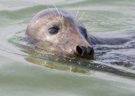 Zeehond achter dood bruinvissen
