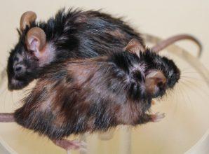 Molecule kills elderly cells, reduces signs of aging in mice