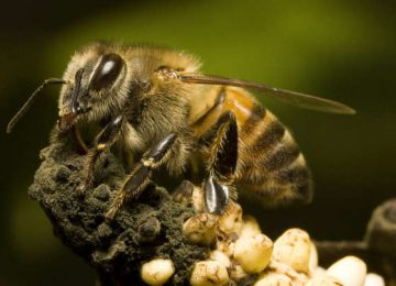 'Killer Bees' Were Created By Scientists In An Experiment That Went Wrong
