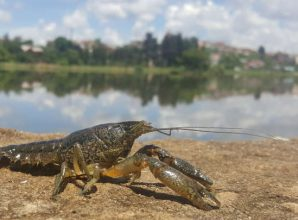 Scientists Discover The ENTIRE World Population Of This Crayfish Is A Clone