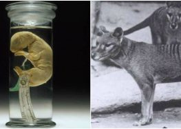 Extinct Tasmanian Tiger May Be Coming Back Thanks To Same Process Used In 'Jurassic Park'